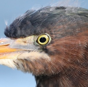 Juvenile Green Heron head detail