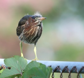 Juvenile Green Heron on a fence