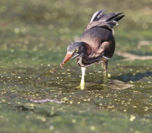 Juvenile Green Heron feeding on the algal bloom