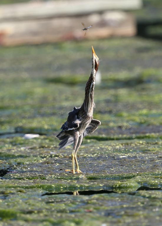 Juvenile Green Heron foraging on the algal bloom