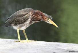 Juvenile Green Heron examining the lake's edge
