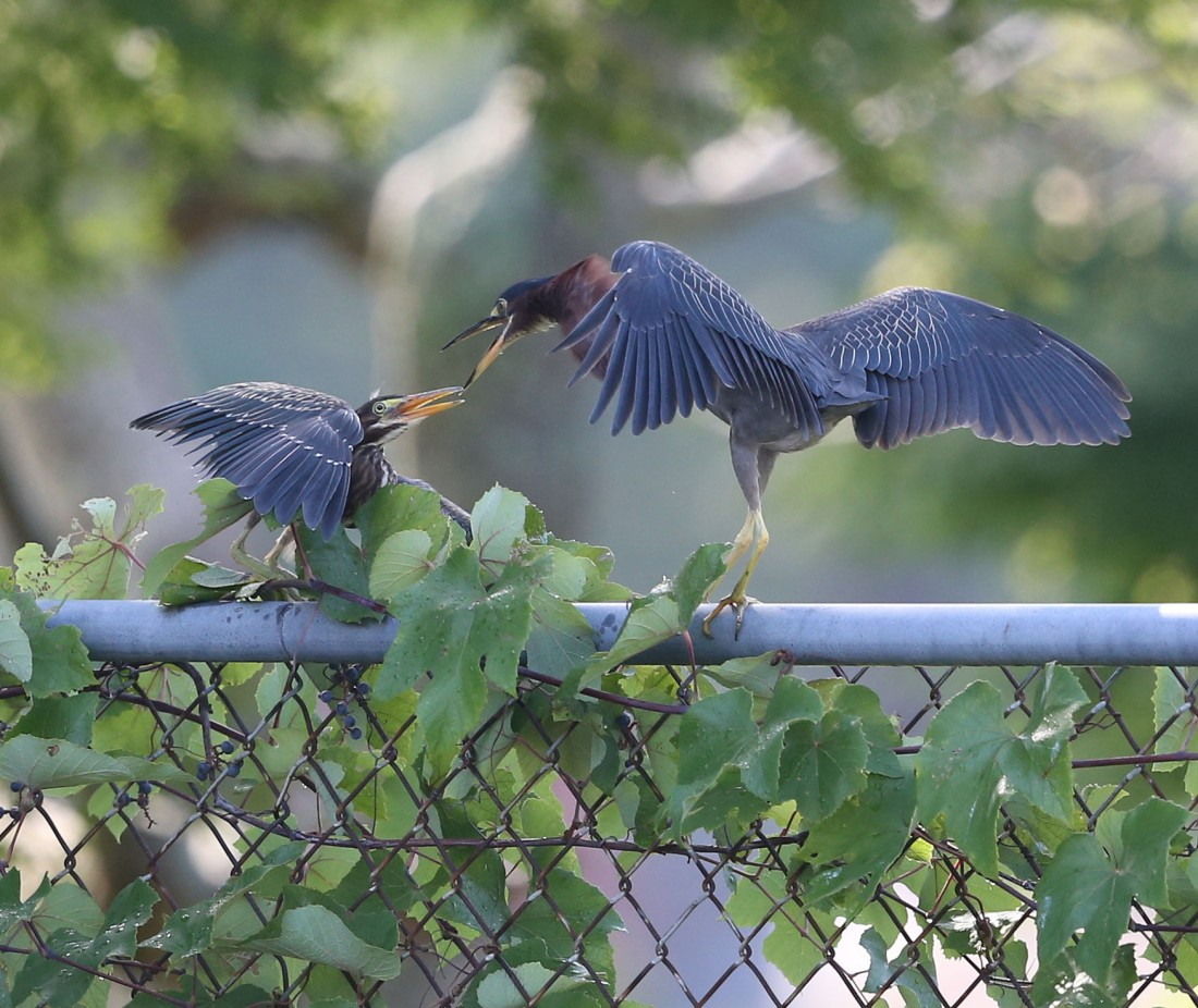 Green Heron parent and child interacting