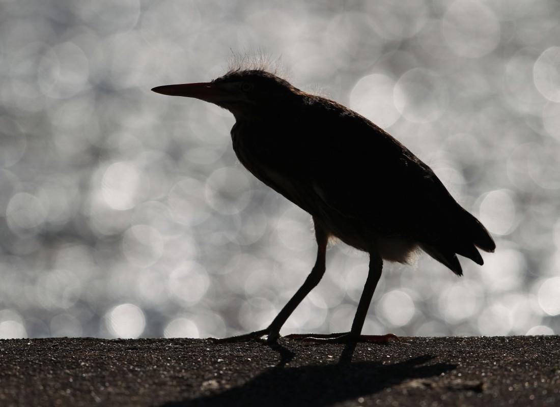 Green Heron silhouette