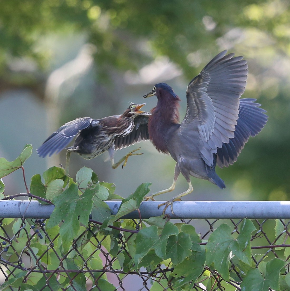 Juvenile Green Heron charging its parent