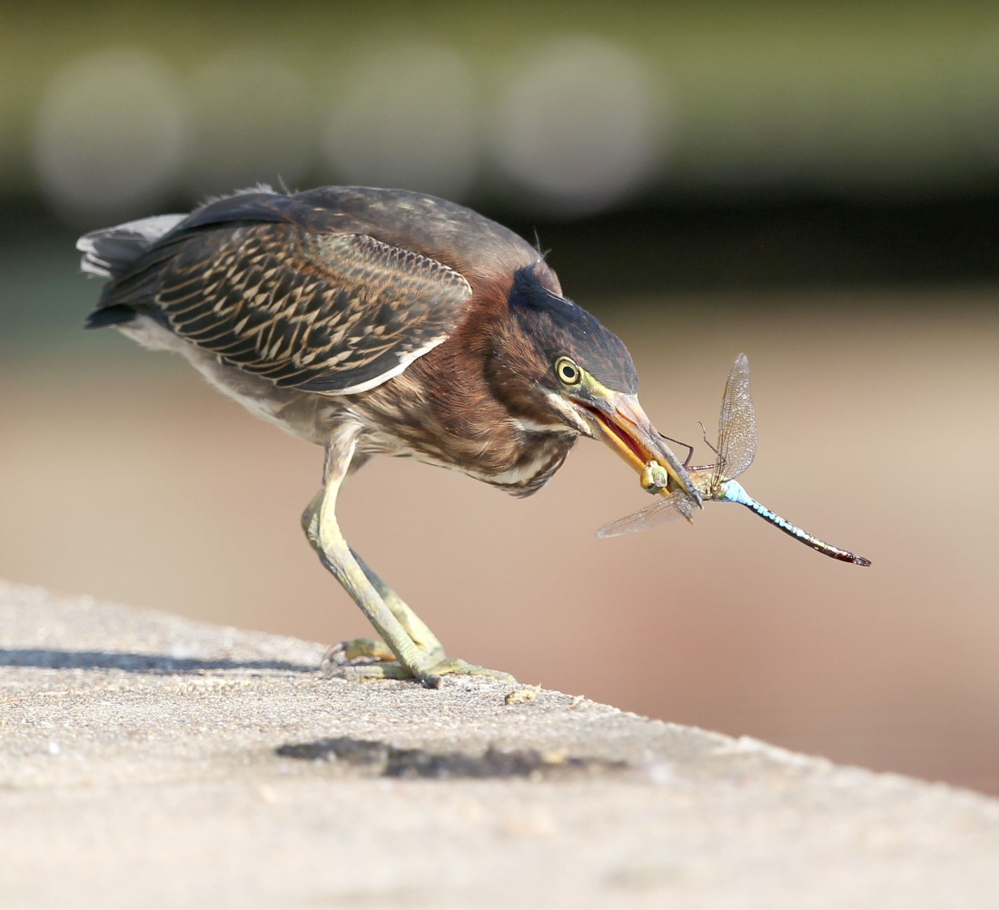 Juvenile Green Heron with a dragonfly