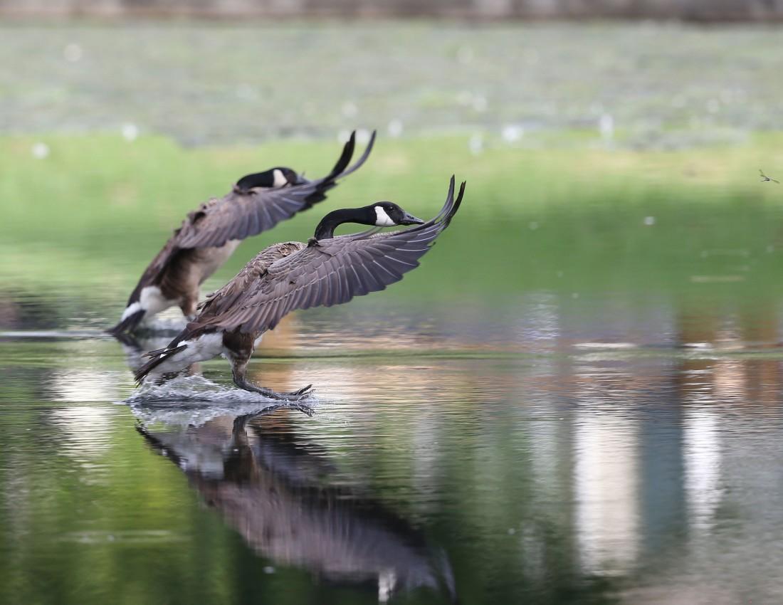 Canada Geese landing in water