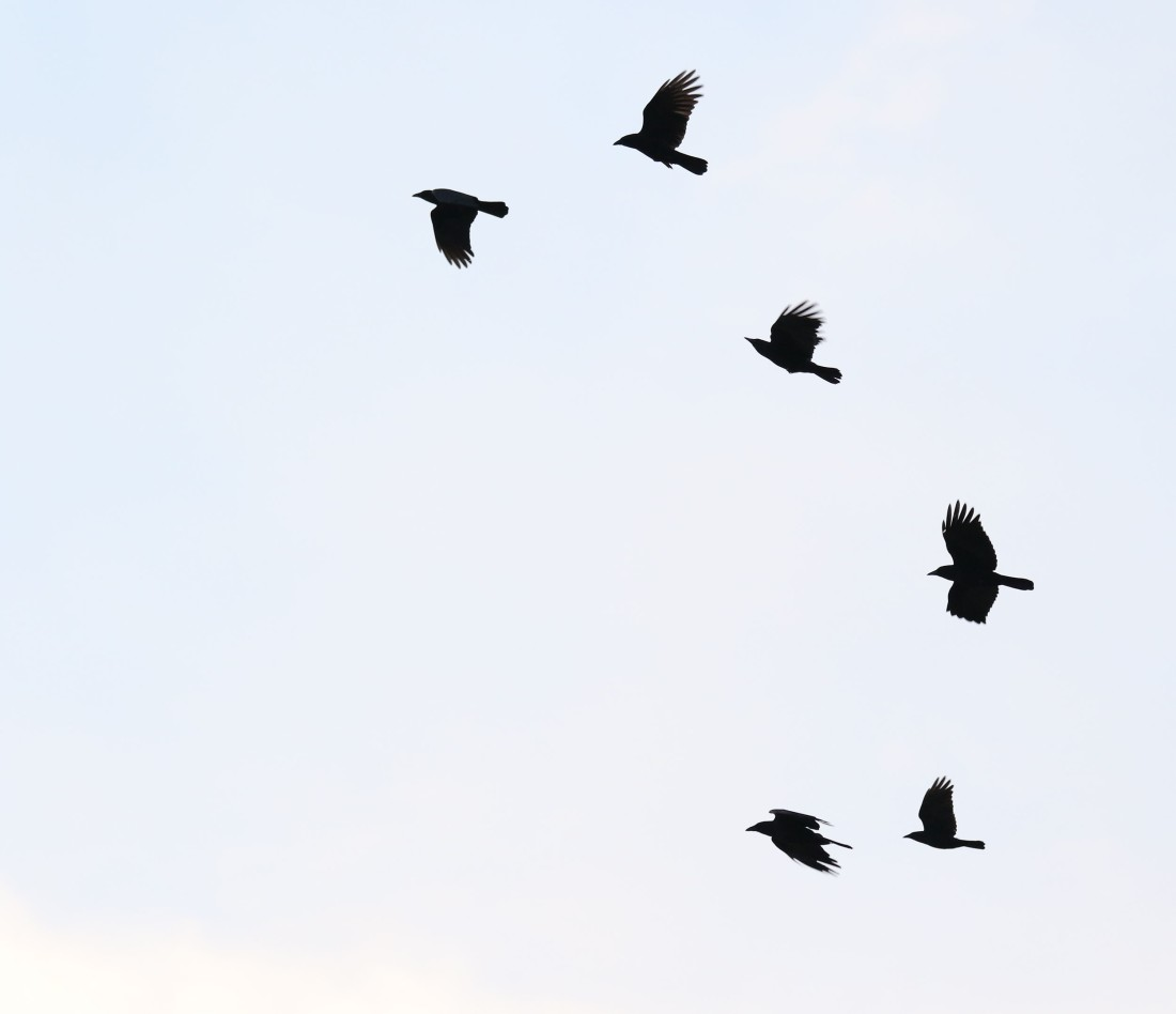 Crows flying to roost