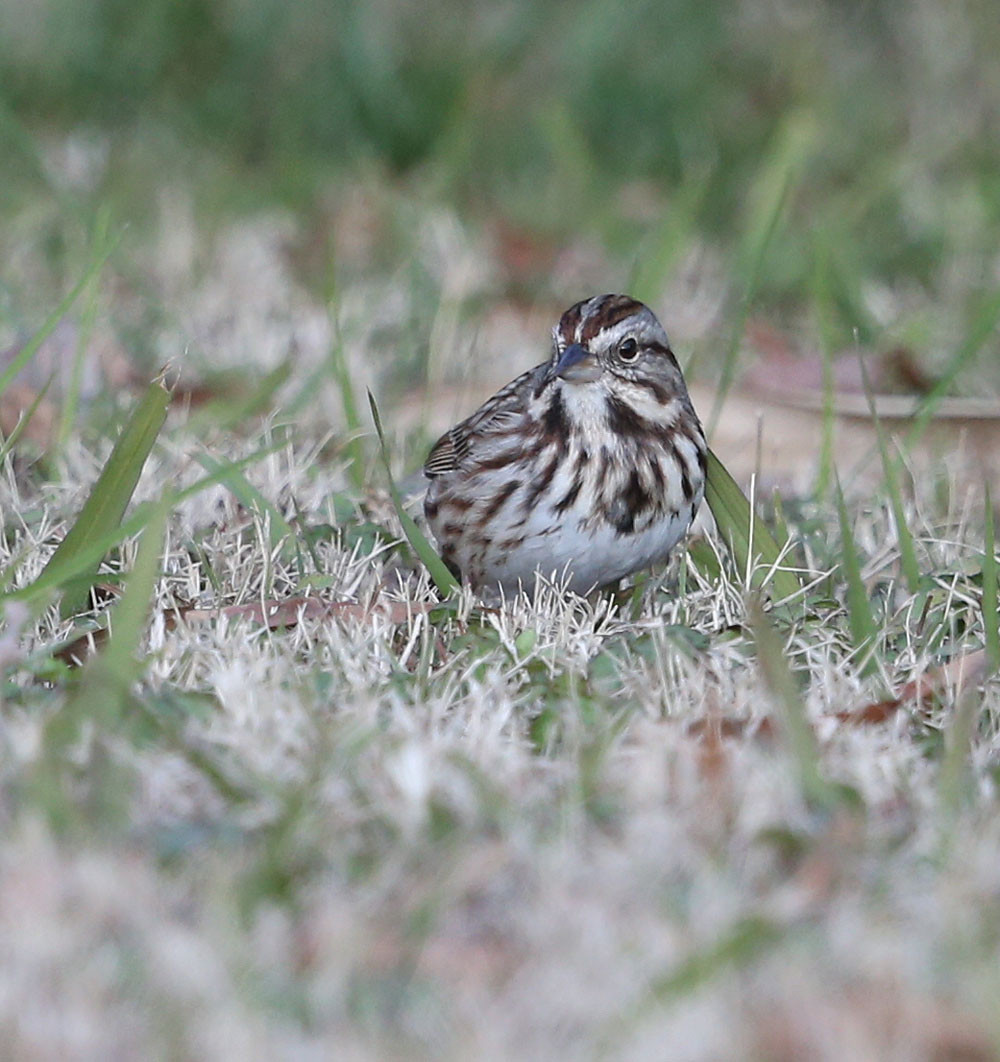 Song Sparrow feeding