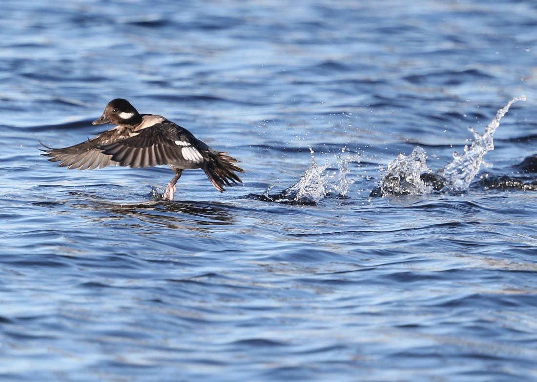 Bufflehead duck skittering
