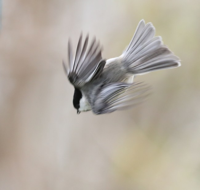 Carolina Chickadee in flight