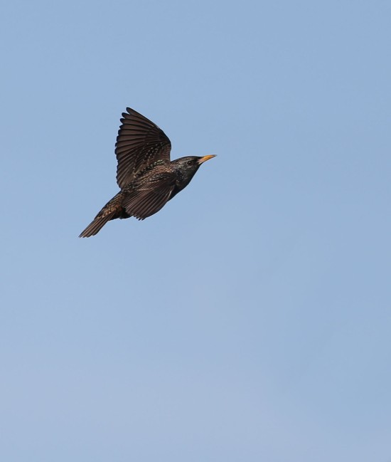 European Starling in flight