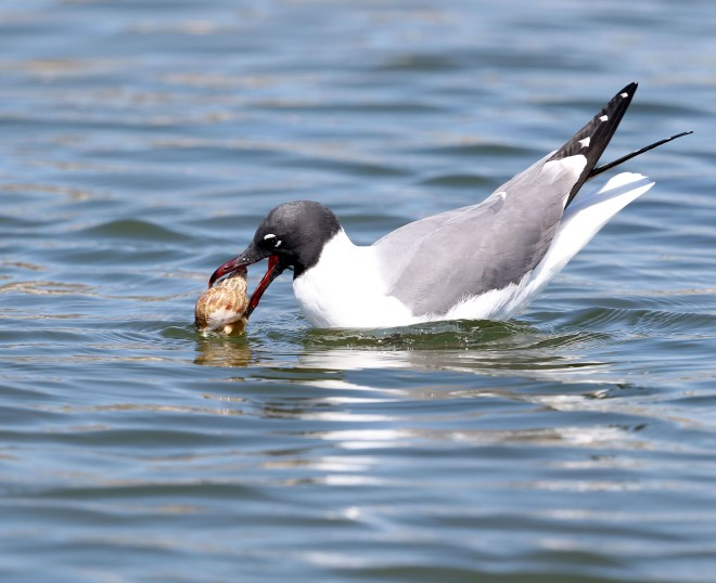 Laughing Gull with a shellfish