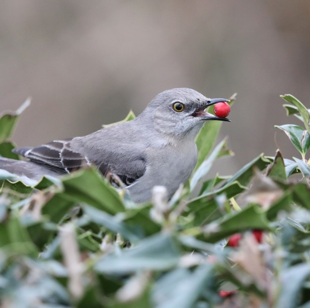 Northern Mockingbird feeding