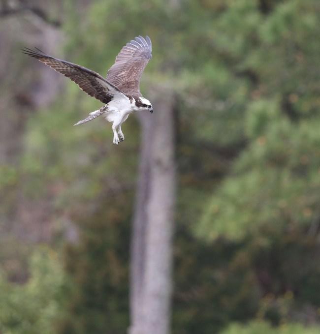 Osprey foraging