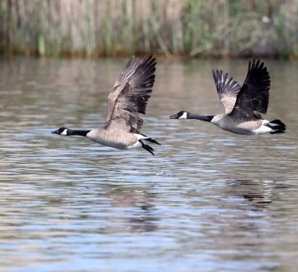 Canada Goose pair flying
