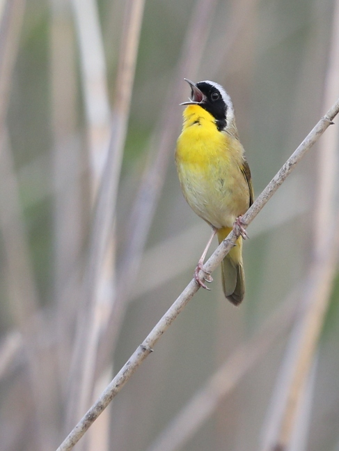 Male Common Yellowthroat singing
