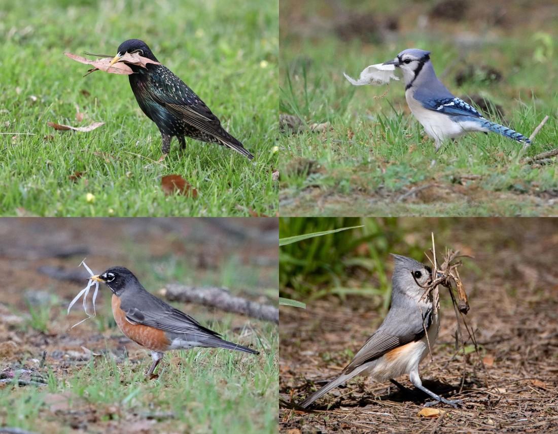 Songbirds gathering nesting material