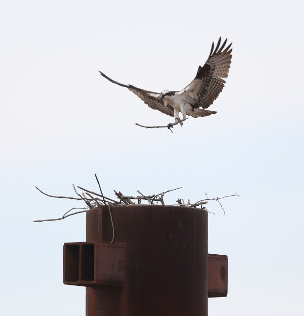 Male Osprey building a nest