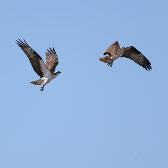 Osprey pair in flight