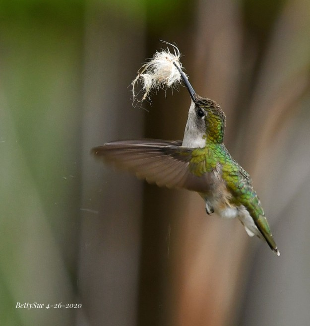 Nest-building female Ruby-throated Hummingbird
