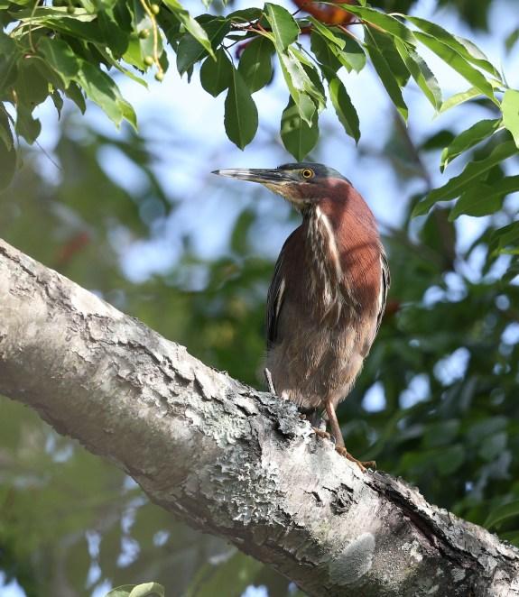 Adult Green Heron