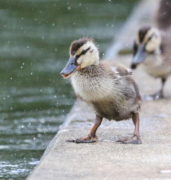 Juvenile Mallard duck