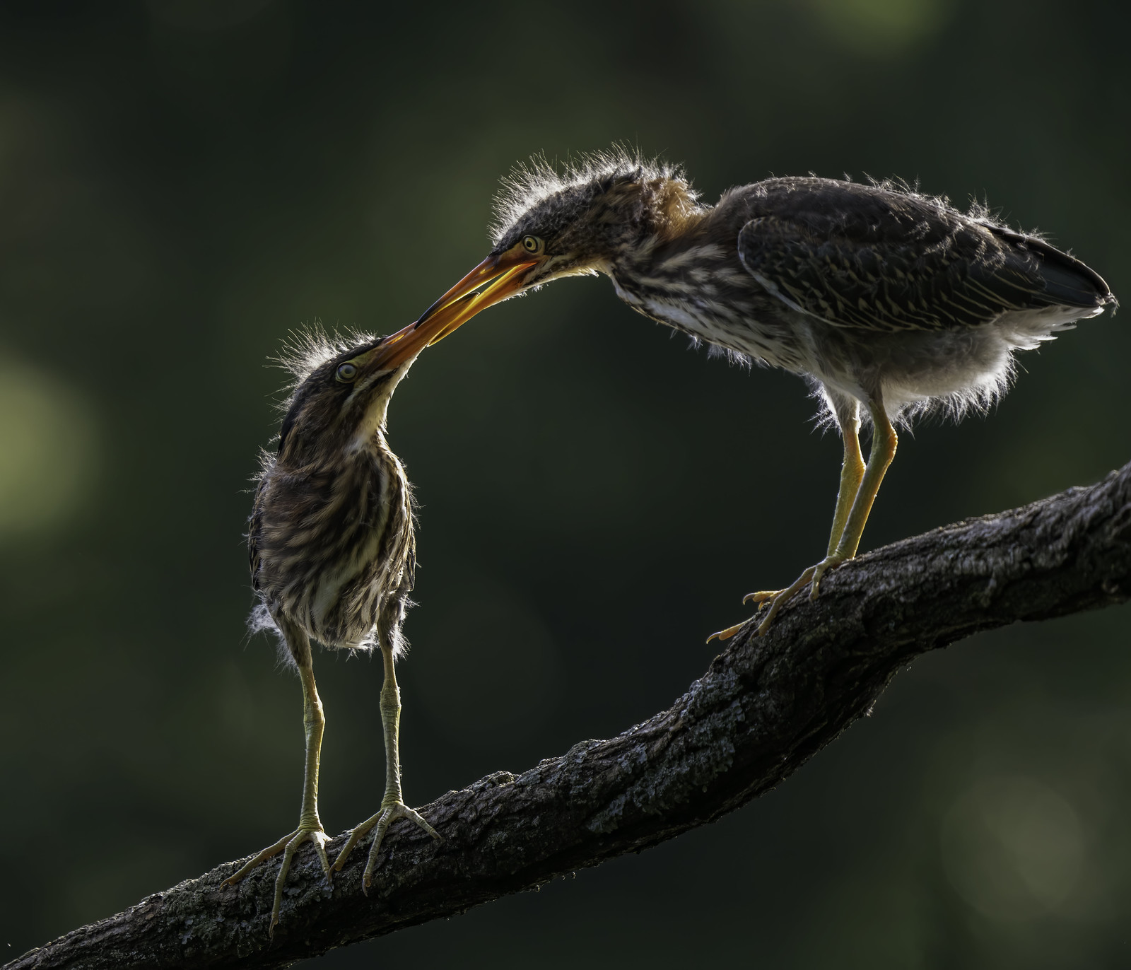 Green Heron nestlings