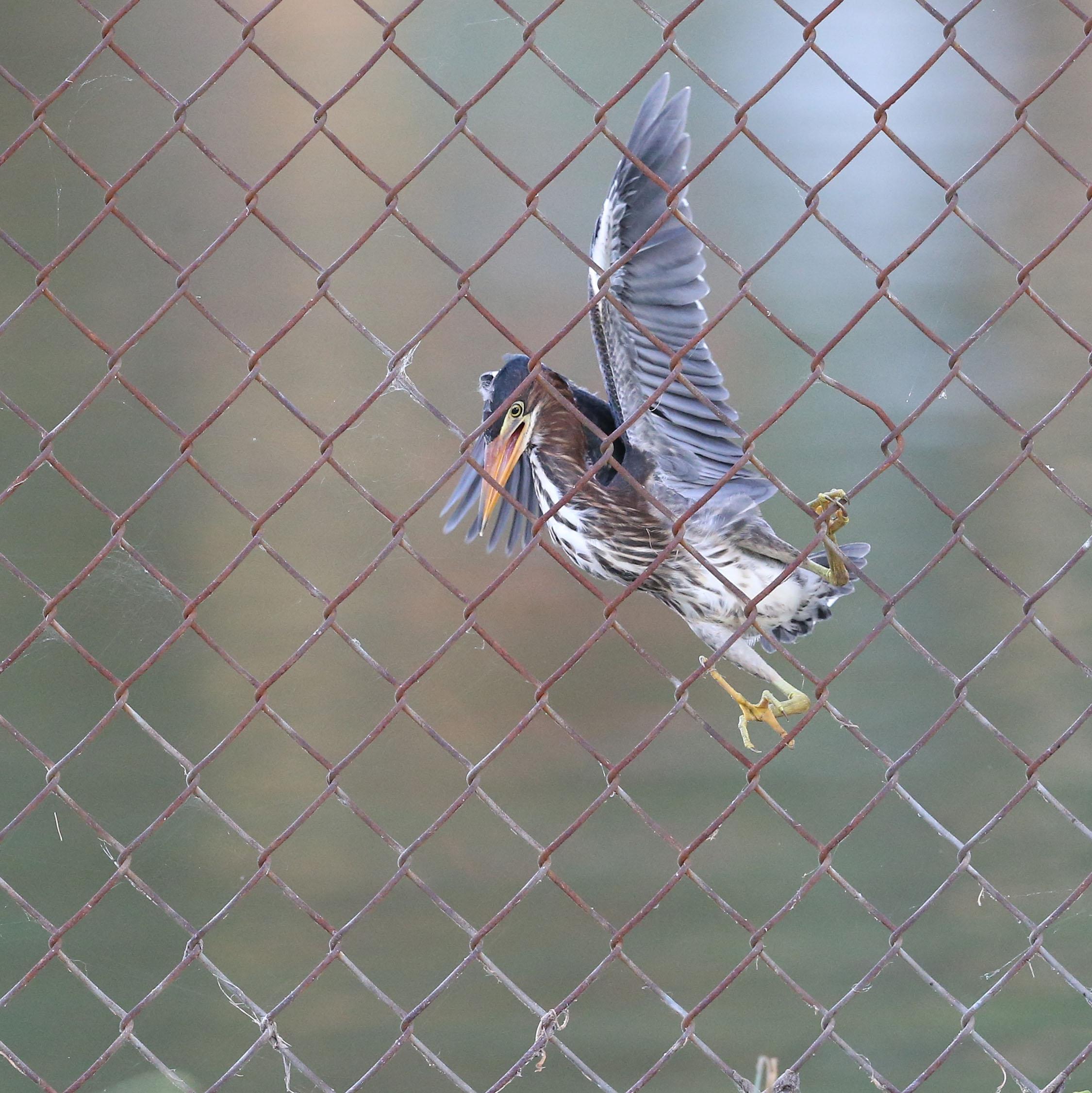 Juvenile Green Heron