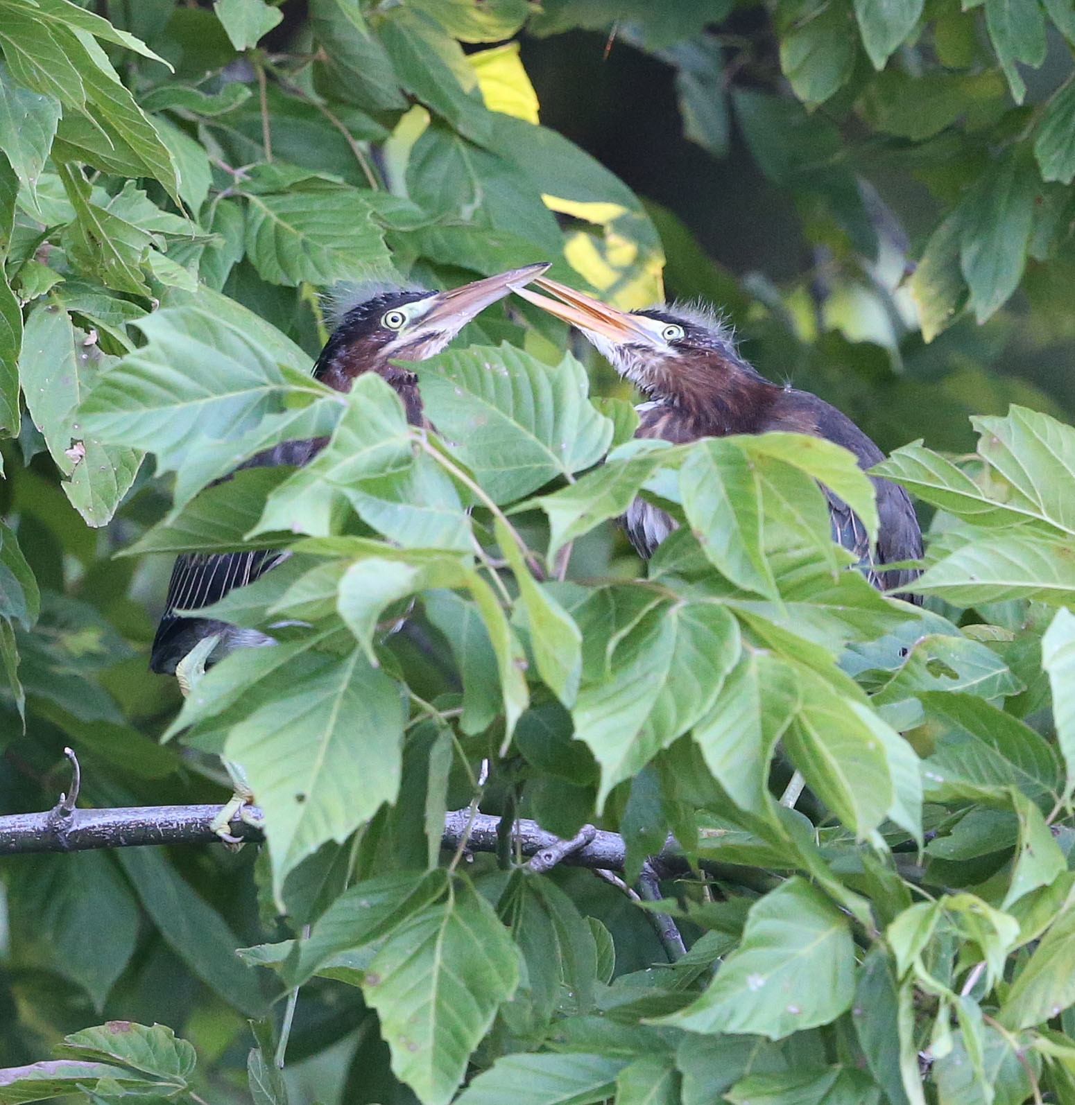 Green Heron fledglings