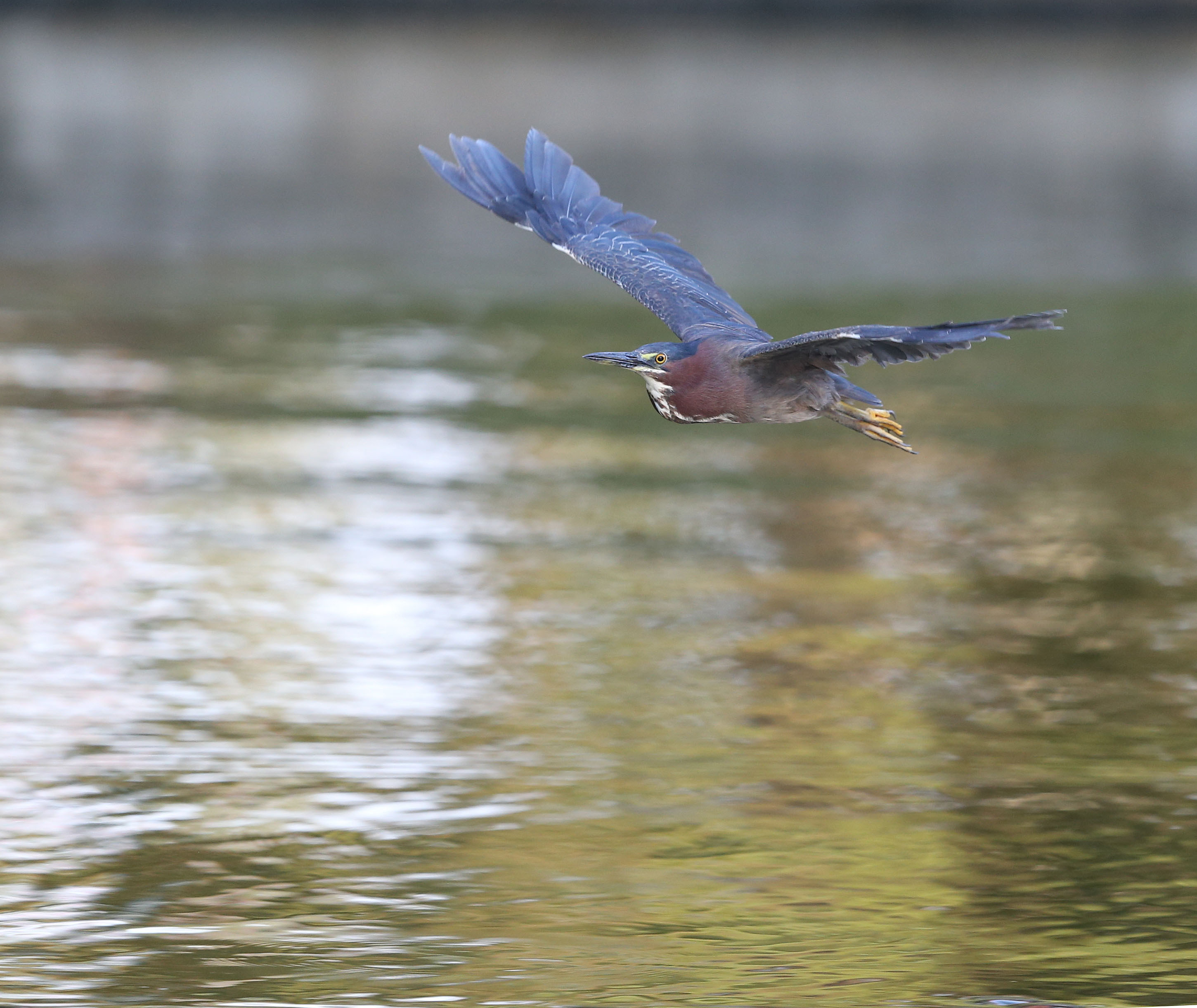 Adult Green Heron in flight