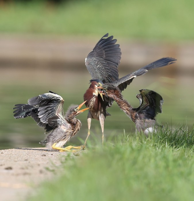 Green Heron fledglings being fed by a parent