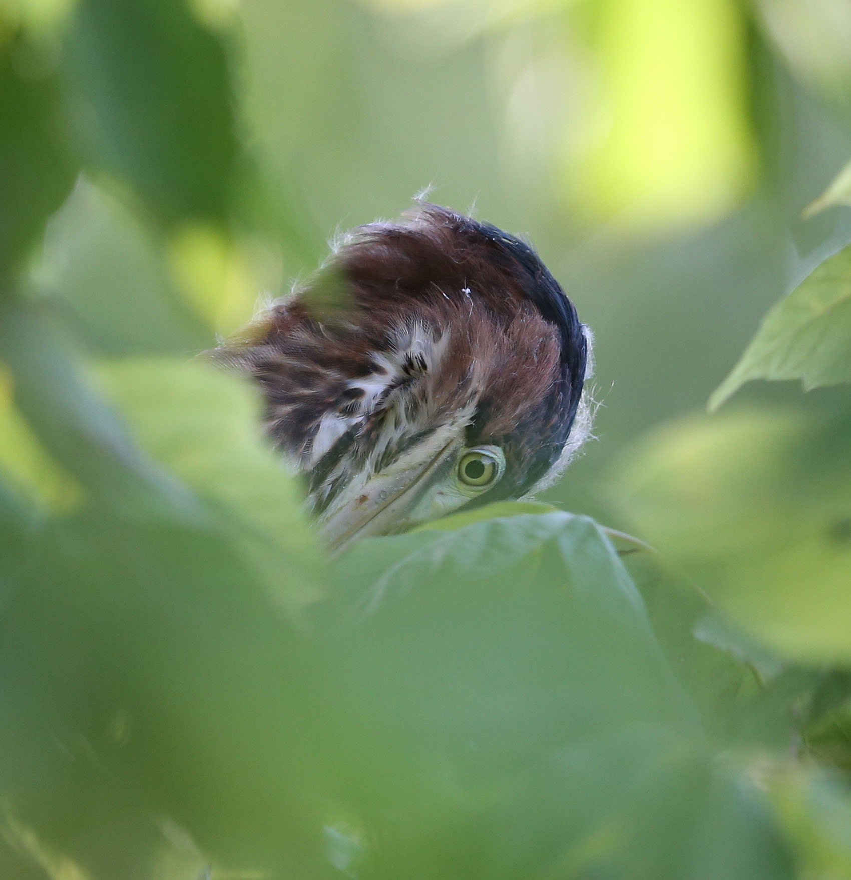 Juvenile Green Heron in foliage