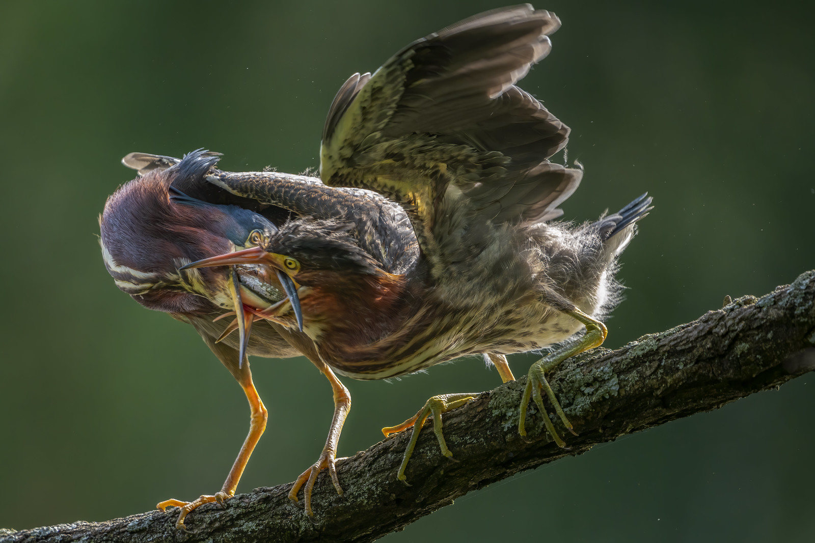 Green Heron parent-offspring interaction