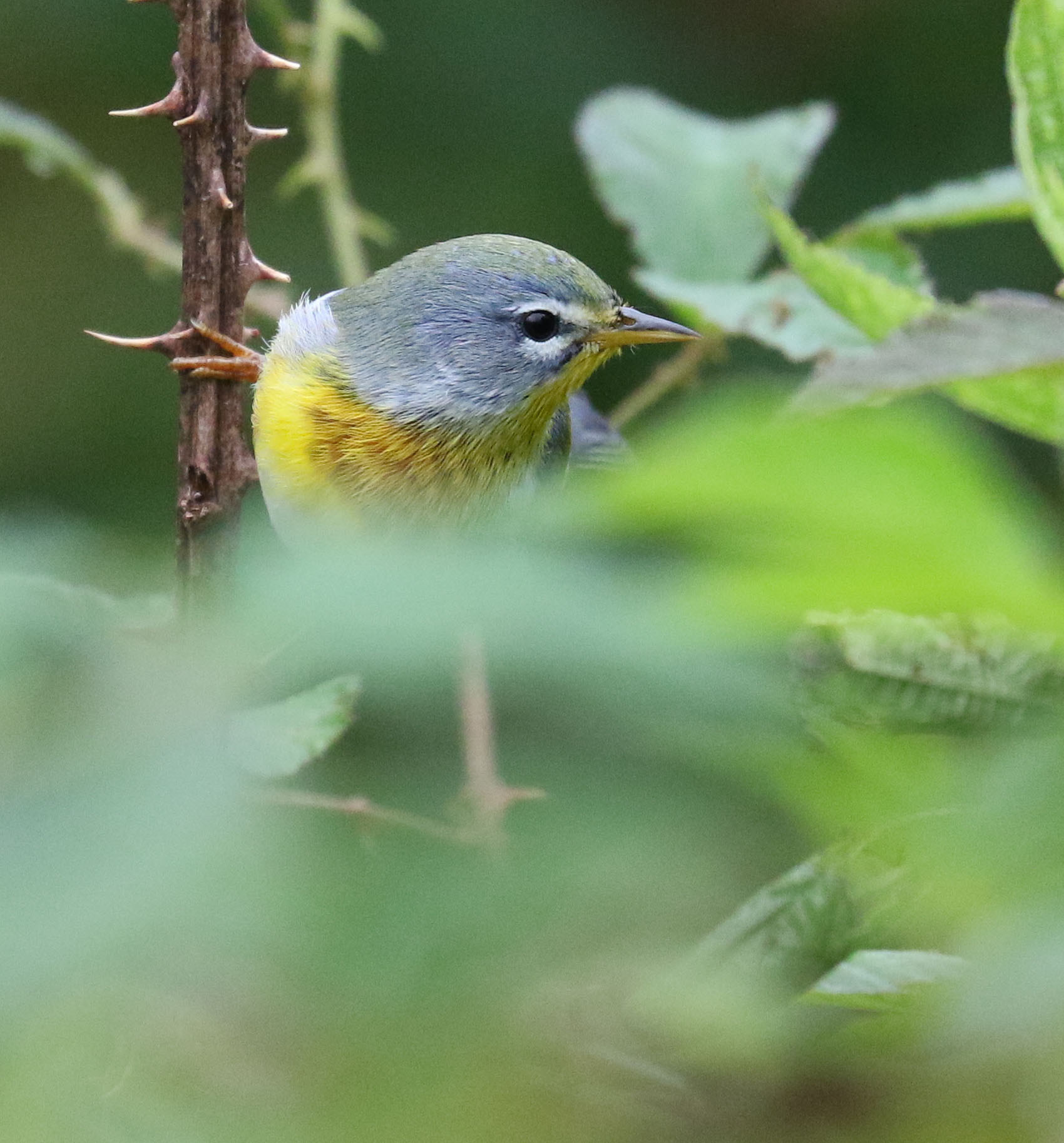 Adult female Northern Parula