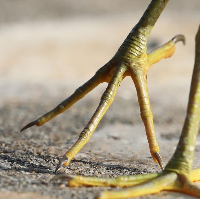 Green Heron toes