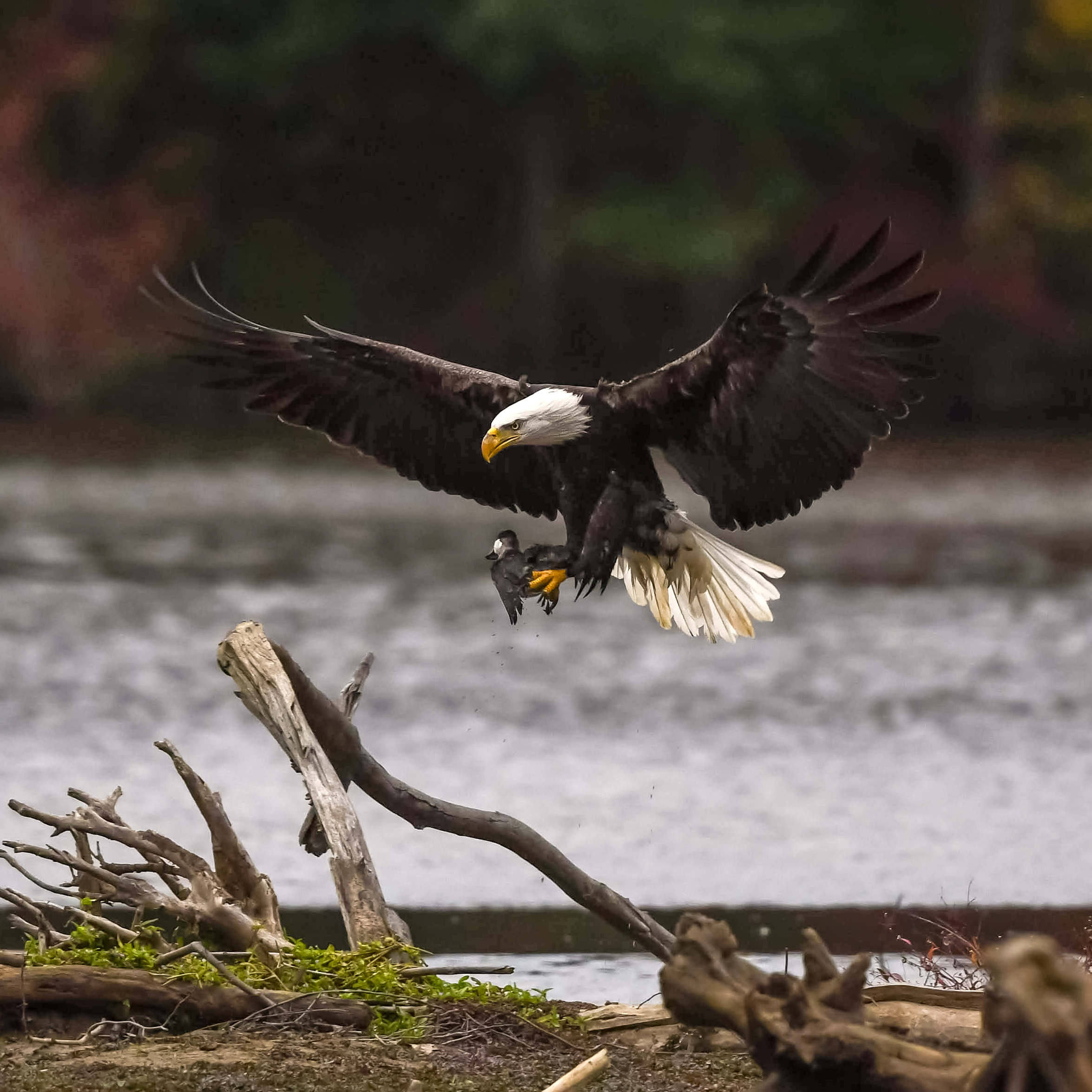 Bald Eagle with a Ruddy Duck