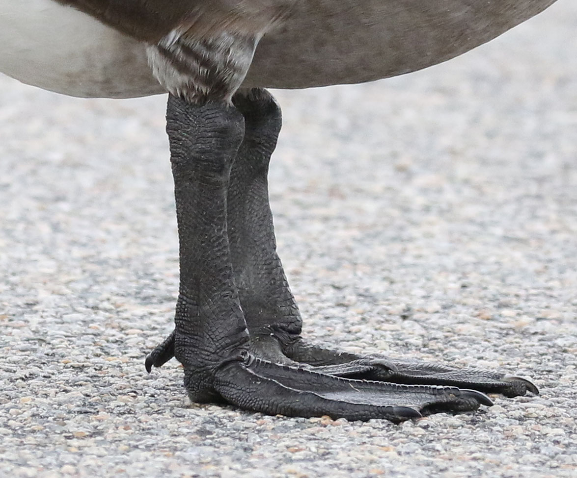 Canada Goose feet