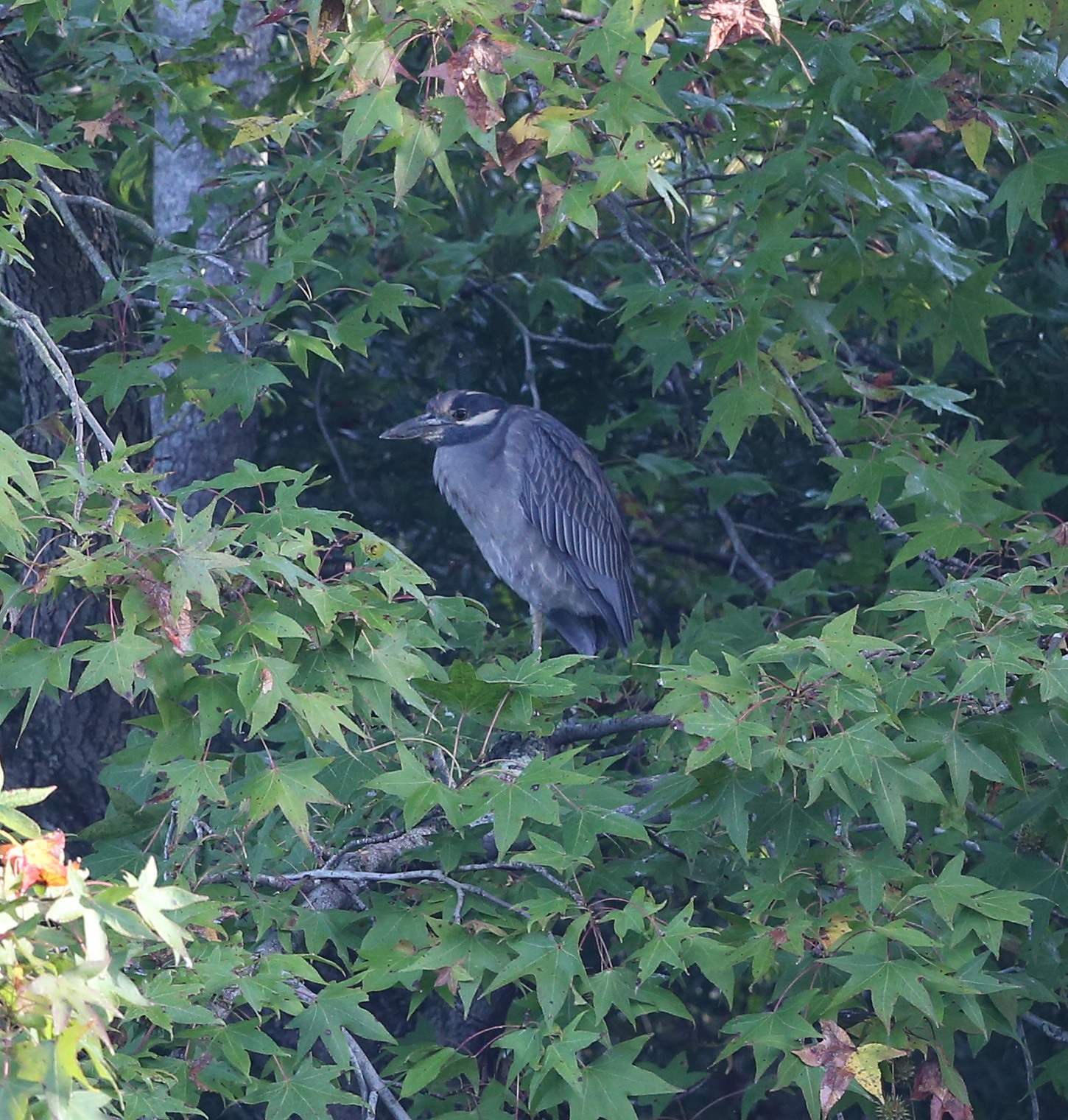 Adult Yellow-crowned Night Heron