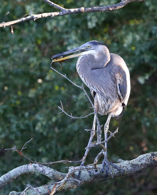 Immature Great Blue Heron with a turtle