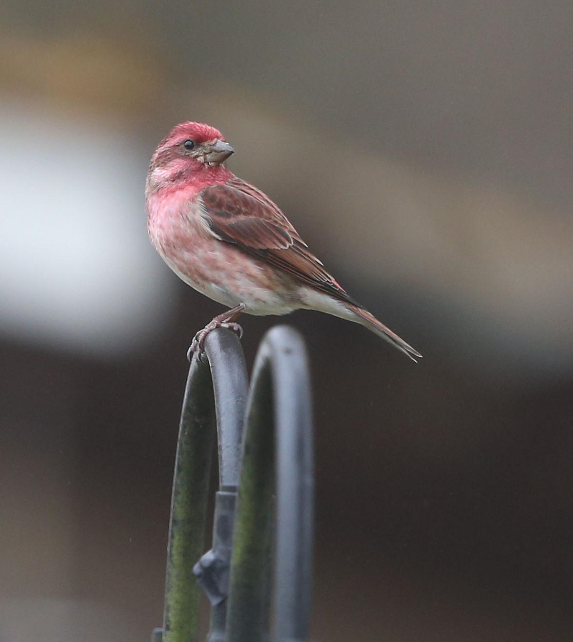 Male Purple Finch
