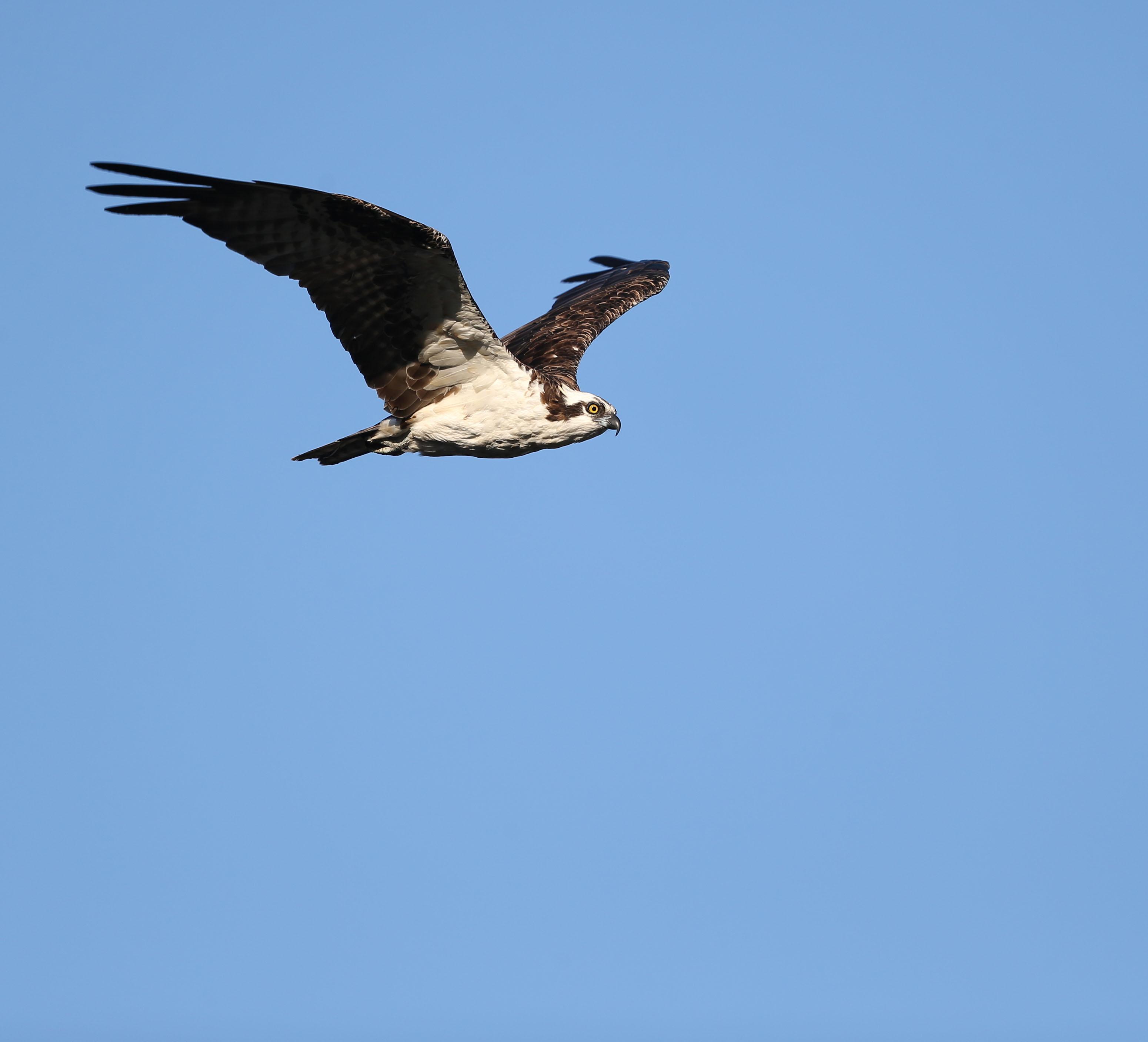 Adult male Osprey