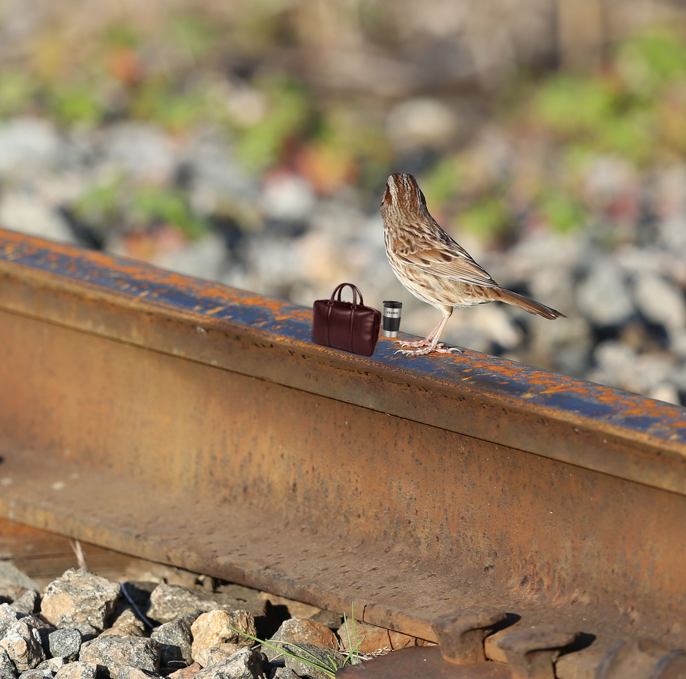 Song sparrow on a railroad track