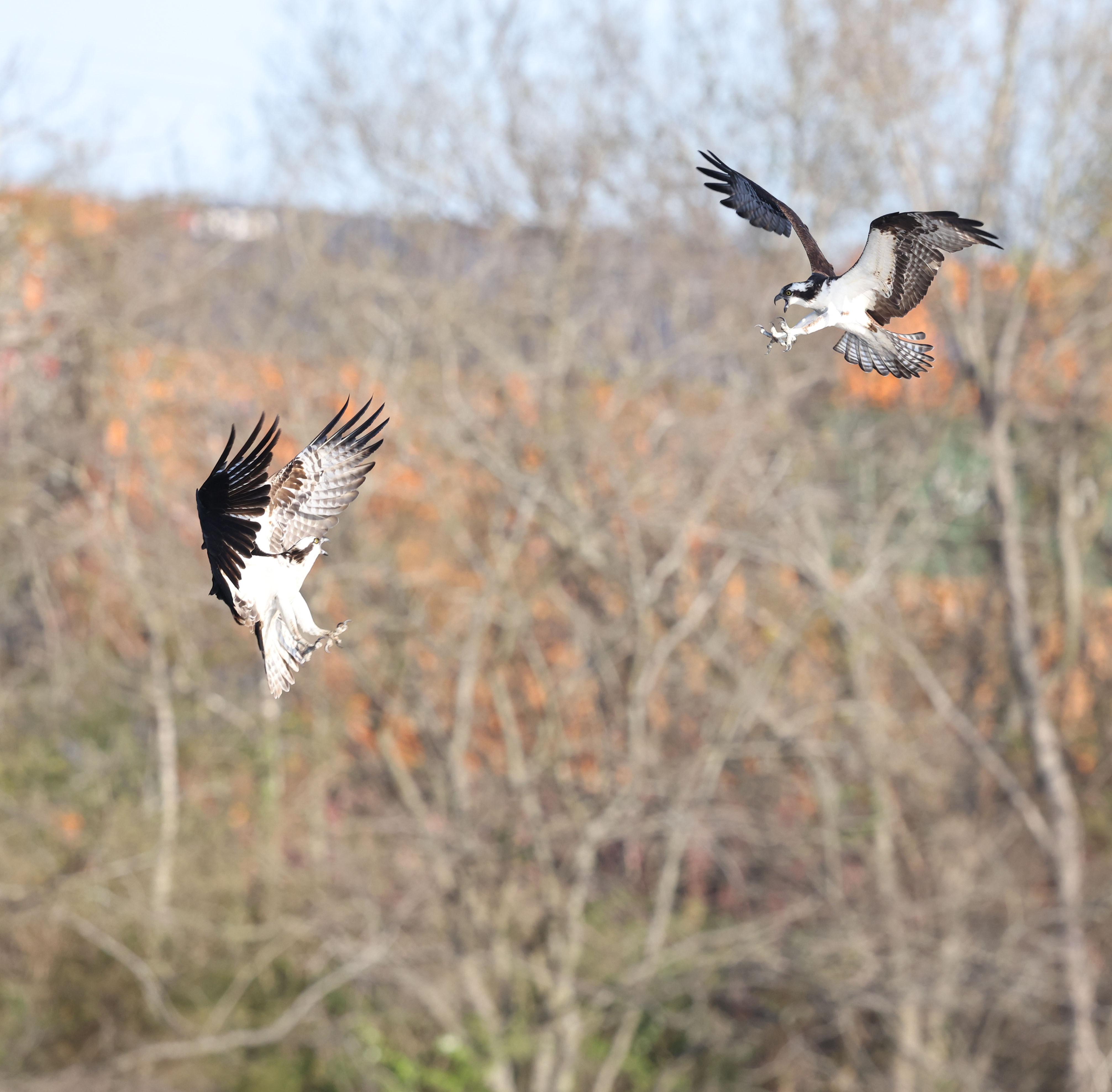 Male Osprey defending nest against intruder