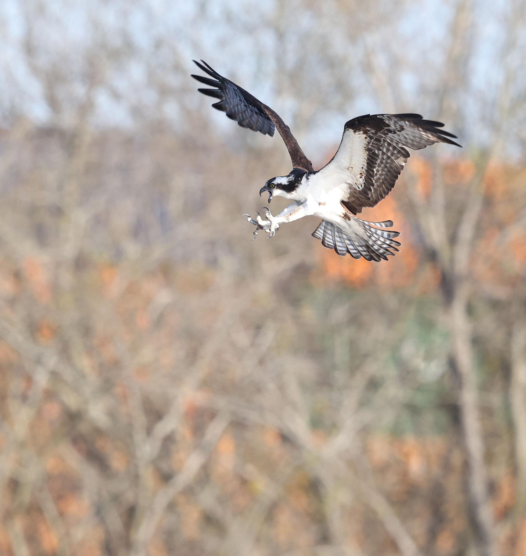 Male Osprey defending nest