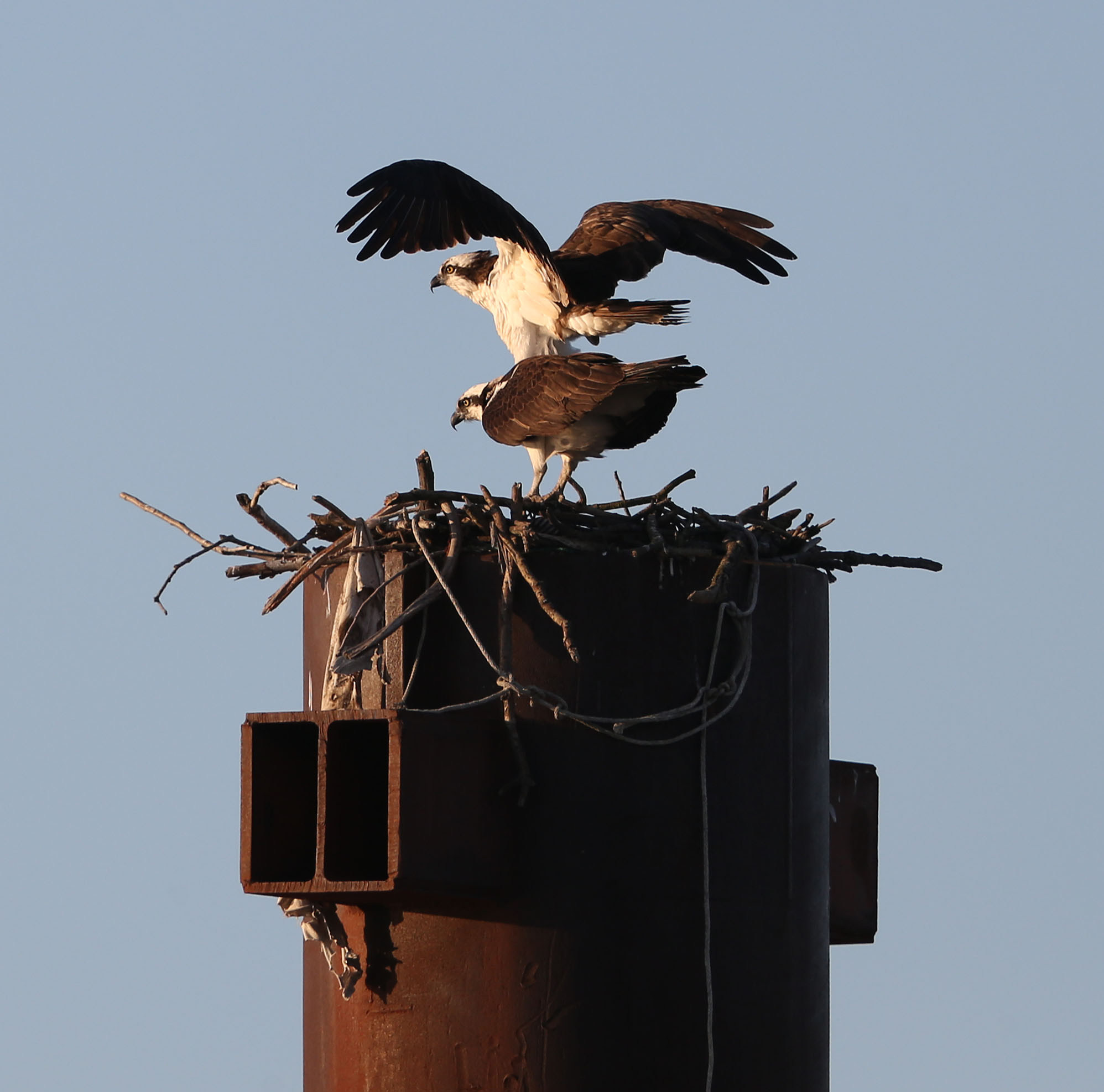 Male and female Osprey