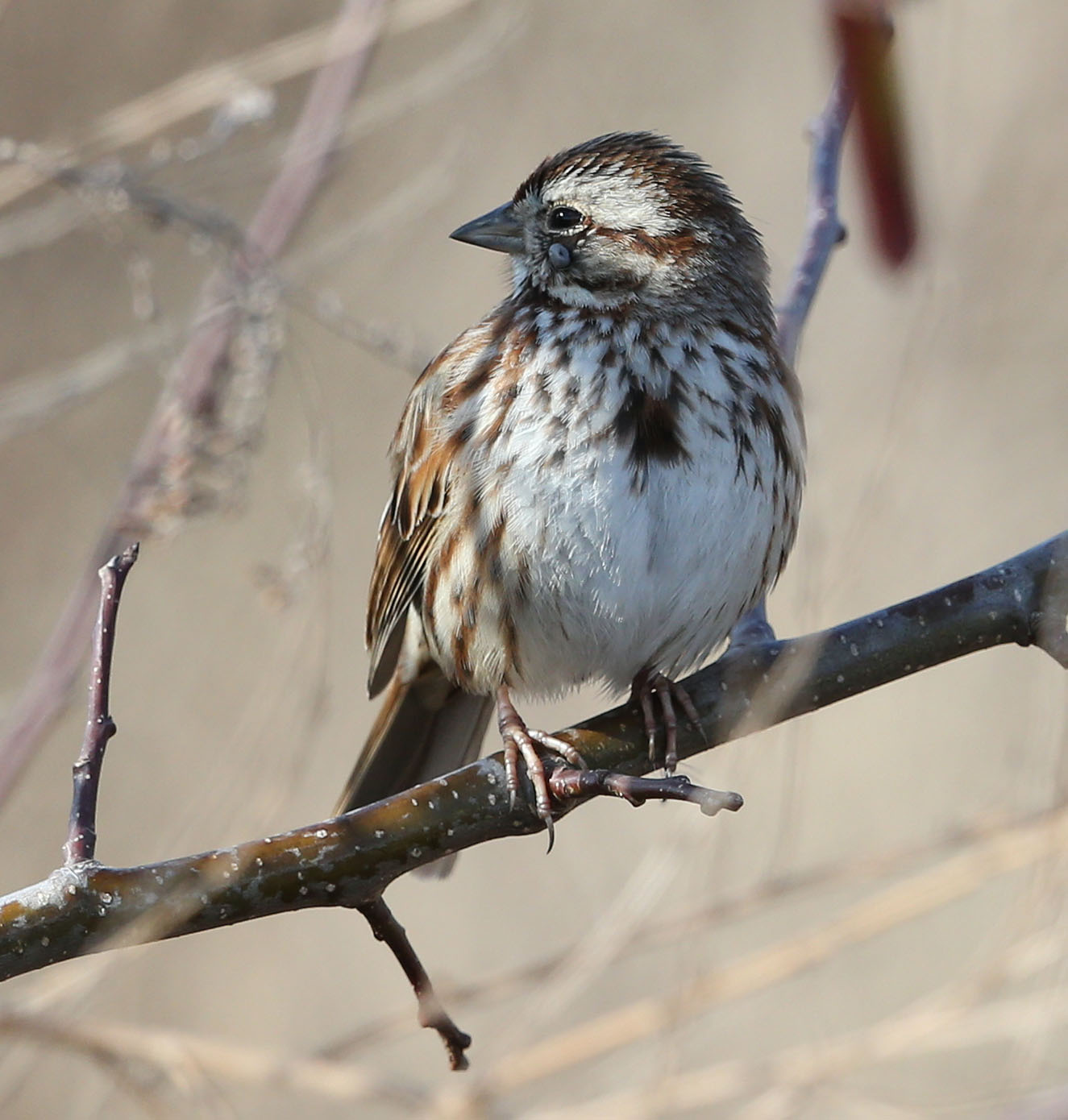 Song Sparrow with tick