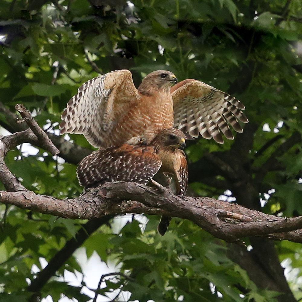 Red-shouldered Hawk breeding pair